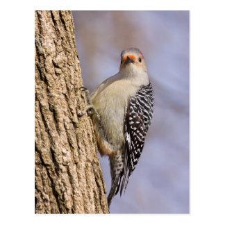 Woodpecker - Red-bellied I Postcard