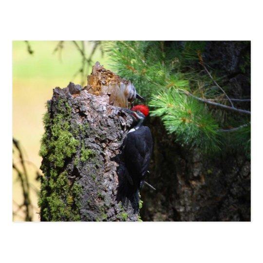 Wookpeckers Birds Postcard
