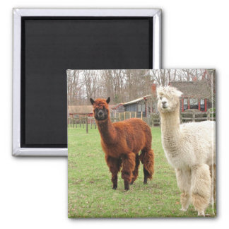 Woolly Alpacas ~ magnet