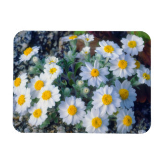 Woolly Daisy Wildflowers Magnet