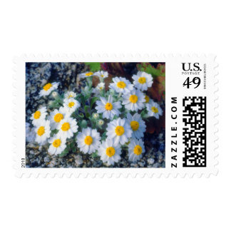 Woolly Daisy Wildflowers Stamp