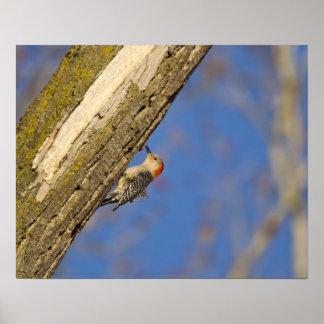 woopecker Rojo-hinchado en árbol Posters