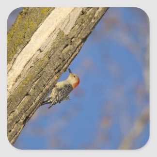 woopecker Rojo-hinchado en árbol Calcomania Cuadrada Personalizada