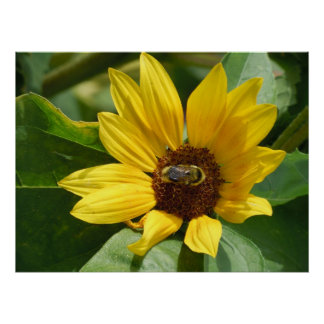 worker bee on sunflower poster