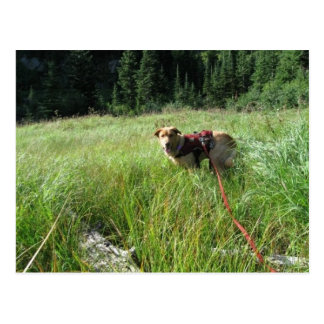 Working Dog Chester at Work Conservation Canines Postcard