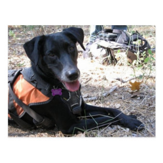 Working Dog Haley Conservation Canines Postcard