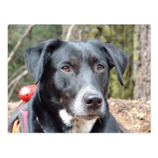 Working Dog Haley Conservation Canines Postcard