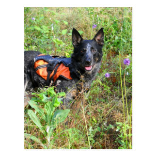 Working Dog Max at Work Conservation Canines Postcards