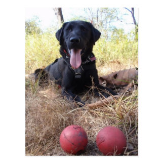 Working Dog Scooby Relaxing Conservation Canines Postcard