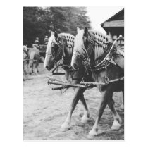 Working Draft Horses in Black and White Postcard