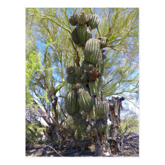 Wow! Dig The Massive BodyBuilding Saguaro Postcard
