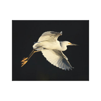 Wrapped Canvas - Snowy egret flyby