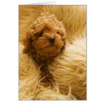 Wrapped up Poodle Greeting Card