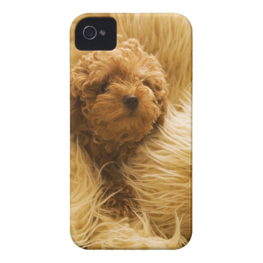 Wrapped up Poodle iPhone 4 Cover