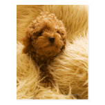 Wrapped up Poodle Postcard