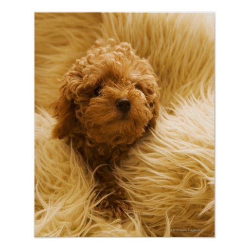 Wrapped up Poodle Print