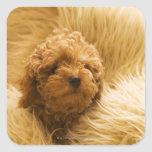 Wrapped up Poodle Sticker