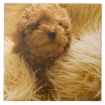 Wrapped up Poodle Tile