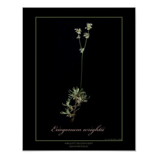 Wright's Buckwheat Botanical Art Print