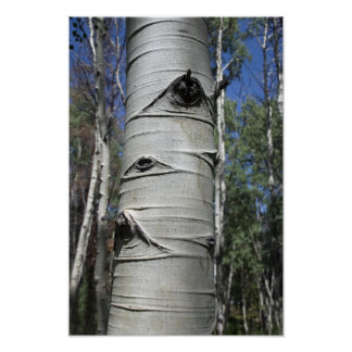 Wrinkled Colorado Aspen Tree Poster