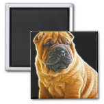 Wrinkles, The Chinese Shar Pei Puppy Dog 2 Inch Square Magnet