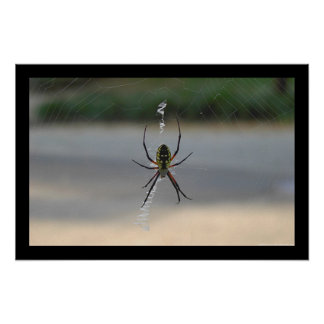Writing Spider (Argiope Aurantia) Poster