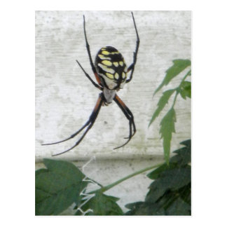 Writing Spider Black Yellow Garden Spiders Photo Postcard