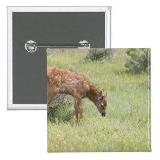 WY, parque nacional de Yellowstone, becerro de los Pin Cuadrado