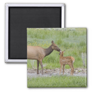 WY, Yellowstone National Park, Elk calf and 2 Inch Square Magnet