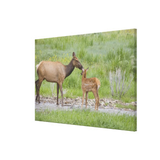 WY, Yellowstone National Park, Elk calf and Canvas Print
