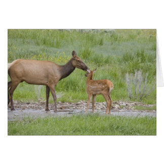 WY, Yellowstone National Park, Elk calf and Card