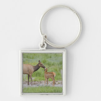WY, Yellowstone National Park, Elk calf and Keychain