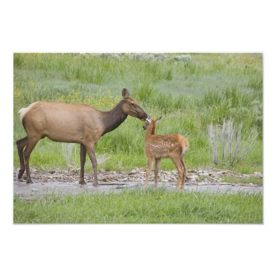 WY, Yellowstone National Park, Elk calf and Photo Print