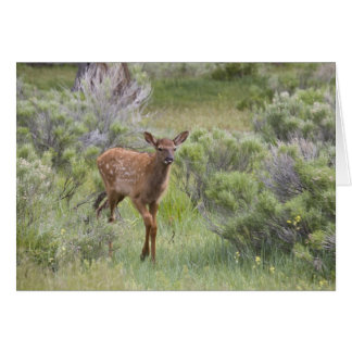 WY, Yellowstone National Park, Elk calf Card