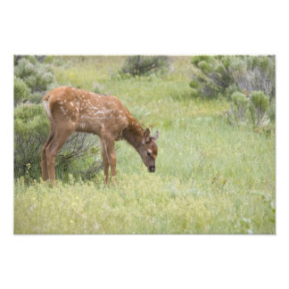 WY, Yellowstone National Park, Elk calf in Photographic Print