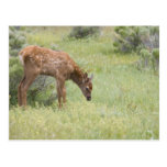 WY, Yellowstone National Park, Elk calf in Postcard