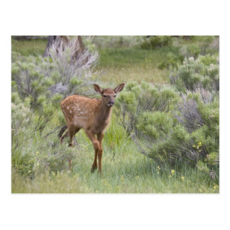 WY, Yellowstone National Park, Elk calf Postcard