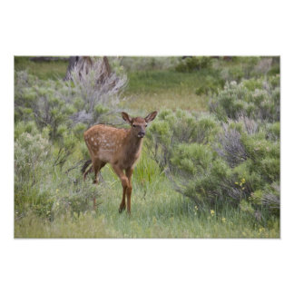 WY Yellowstone National Park Elk calf Poster
