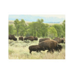 Wyoming Bison Nature Animal Photography Metal Print