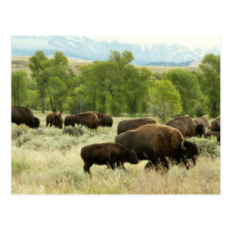 Wyoming Bison Nature Animal Photography Postcard