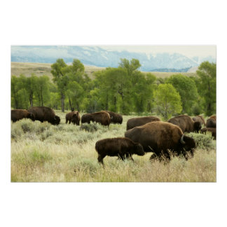 Wyoming Bison Nature Animal Photography Poster