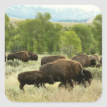 Wyoming Bison Nature Animal Photography Square Sticker