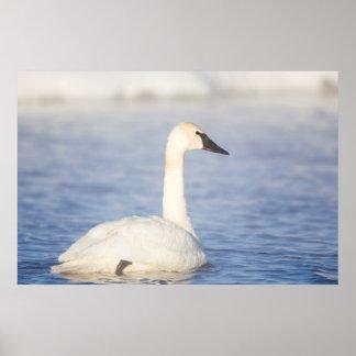 Wyoming, el condado de Sublette, cisne de Póster