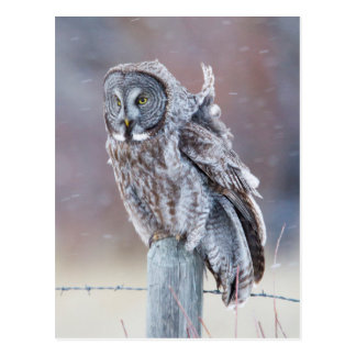 Wyoming, Lincoln County, Great Gray Owl sitting Postcard