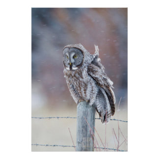 Wyoming, Lincoln County, Great Gray Owl sitting Poster