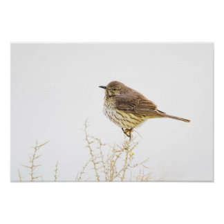 Wyoming, Lincoln County, Sage Thrasher roosting Poster