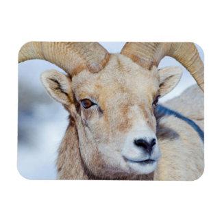 Wyoming, National Elk Refuge, Bighorn Sheep Ram Magnet