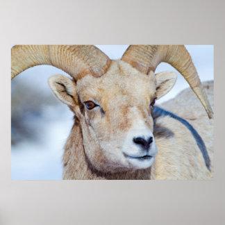 Wyoming, National Elk Refuge, Bighorn Sheep Ram Poster