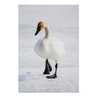 Wyoming, National Elk Refuge, Trumpeter Swan 1 Poster