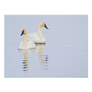 Wyoming, National Elk Refuge, Trumpeter Swan 2 Poster
